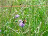 Kleiner Fuchs(Aglais urticae(L. 1758))