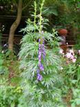 Blauer Eisenhut(Aconitum napellus(L.))