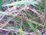 Gemeine Strauchschrecke(Pholidoptera griseoaptera(De Geer 1773))