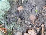 Waldgrille(Nemobius sylvestris(Bosc. 1792))