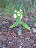 Gemeiner bzw. stechender Hohlzahn(Galeopsis tetrahit(L.))
