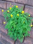 Gelber Lerchensporn(Corydalis lutea(L.))
