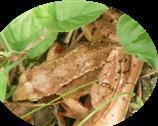 Grasfrosch(Rana temporaria(L. 1758))