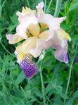 Holunder-Schwertlilie(Iris sambucina(L.))