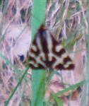 Wegerichbär(Parasemia plantaginis(L. 1758)) Weibchen