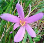 Blüte der Herbstzeitlosen(Colchicum autumnale(L.))