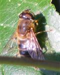 Gemeine Keilfleckschwebfliege(Eristalis pertinax(L. 1758))