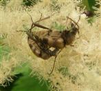 Bockkäfer(Pachytodes cerambyciformis)Paar