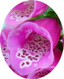 Blüte des roten Fingerhutes(Digitalis purpurea(L.))