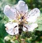Gefleckter Schmalbock(Leptura maculata(Poda 1761))