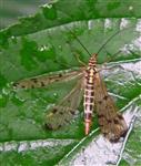 Deutsche Skorpionsfliege(Panorpa germanica(L. 1758)) Weibchen