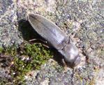 Samt-Schnellkäfer(Agriotes pilosellus(Schonherr 1817))