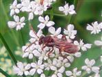 Wegwespe(Pompilidae) Cryptocheilus alternatus