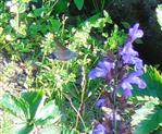 Taubenschwänzchen(Macroglossum stellatarum(L. 1758)) an echtem Salbei( Salvia officinalis(L.))