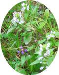 Kleine Braunelle(Prunella vulgaris(L.)) sowie weiße Braunelle(Prunella laciniata(L.))