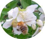 Ackerhummel(Bombus pascuorum(Scopoli 1763)) im Anflug zur Deutzie(Deutzia (Thunb.))