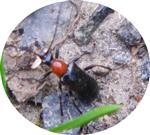Blauschwarzer Kugelhalsbock 1(Dinoptera collaris(L. 1758))