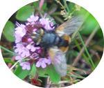 Igelfliege(Tachinus fera(L. 1761))