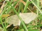 Weißstirn-Weißspanner(Cabera pusaria(L. 1758))