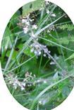 Hexenkraut(Circaea(L.))