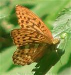 Kaisermantel(Argynnis paphia(L. 1758))