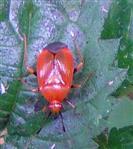 Weichwanze (Deraeocoris ruber)