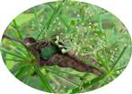 Nymphe einer grünen Stinkwanze(Palomena prasina(L. 1761)) in einem verdorrten Blatt auf Schutzsuche