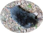 Totfund Europäischer Maulwurf(Talpa europaea(Fischer 1817))