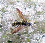 Blattwespe(Tenthredo vespa)