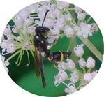 Blattwespe(Tenthredo amoena)