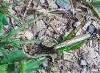 Kurzflügelige Beißschrecke(Metrioptera brachyptera(L. 1761))Weibchen