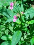 Drüsiges Springkraut(Impatiens glandulifera(Royle))