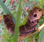 Raupe des mittleren Weinschwärmers(Deilephila elpenor(L. 1758))