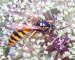 Rote Wespe(Vespula rufa(L 1758))