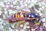 rote Wespe 1(Vespula rufa(L. 1758))