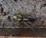 Finsterspinne(Amaurobius fenestralis)
