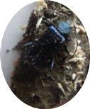 Blauvioletter Scheibenbock(Callidium violaceum(L. 1758))