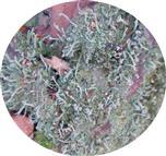 Echte Becherflechte(Cladonia pyxidata(L.) Hoffm.)