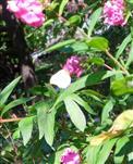(Violetter) Hoher Staudenphlox(Phlox paniculata(L.))