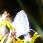 Faulbaum-Bläuling(Celastrina argiolus(L. 1758))