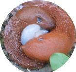 Spanische Wegschnecke(Arion vulgaris(Moquin-Tandon 1855)) Kopula