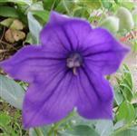 Pfirsichblättrige Glockenblume(Campanula persicifolia(L.))