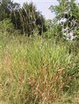 Land-Reitgras(Calamagrostis epigejos(L.)Roth)