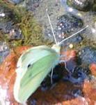 Kleiner Kohlweißling(Pieris rapae(L. 1758))