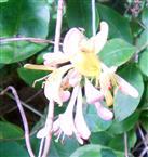 Blüten des Wald-Geißblattes(Lonicera periclymenum(L.))