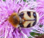 Gebänderter Pinselkäfer(Trichius fasciatus(L. 1758))