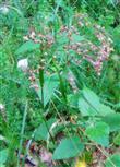 Wald-Hainsimse(Luzula sylvatica(Huds.) Gaudin)