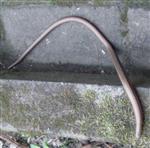 Blindschleiche(Anguis fragilis(L. 1758))