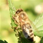 Westliche Honigbiene(Apis mellifera(L. 1758)) sich in der Sonne aufwärmend