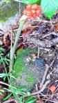 Fruchtstand des östlichen Aronstabes(Arum orientale(L.))